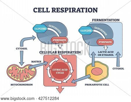 Cell Respiration Process Explanation With Biological Stages Outline Diagram. Educational Labeled Sch