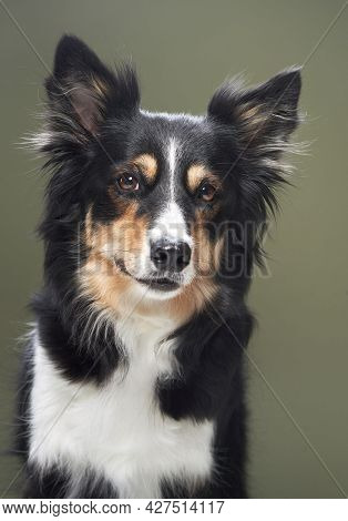 Portrait Of A Dog On A Green Background. Obedient Border Collie In Studio