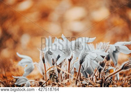 Toned Photo Colorless Bleached Decolourized Beautiful Wild Spring Flowers. Flowering Blooming Plant.
