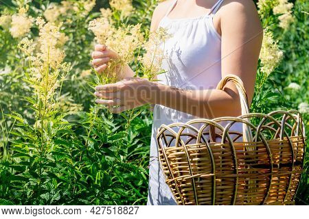 Young Woman Herbalist Gathers Meadowsweet Inflorescences In A Basket In The Meadow