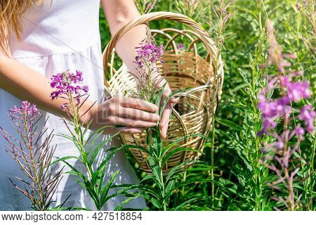 Young Woman Herbalist Gathers Fireweed In A Basket In The Meadow, Hands Close-up