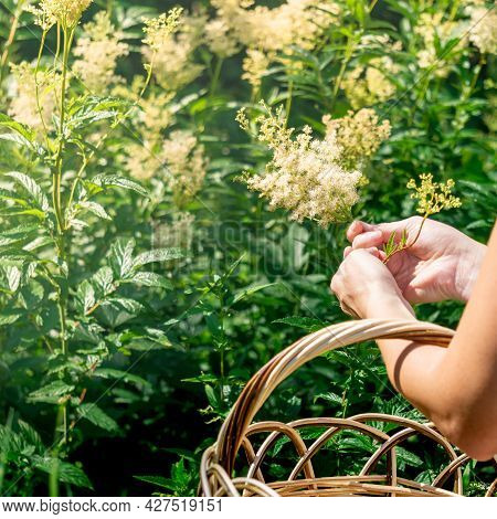 Woman Herbalist`s Hands Gathers Meadowsweet Inflorescences In A Basket In The Meadow