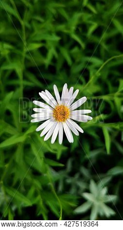 Yellow And White Marguerite Daisy Flower Nature Green. Organic Cosmetics. Alternative Medicine Conce