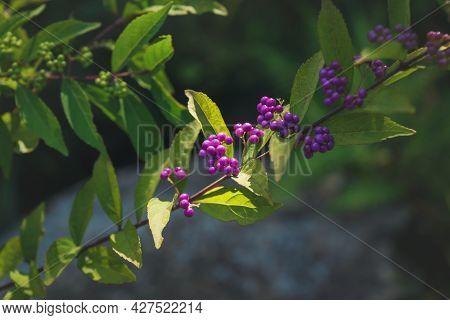 Detail Of Purple Beauty Berries, Also Called Marusaki Shikibu Or Shrub Callicarpa Belonging To The K