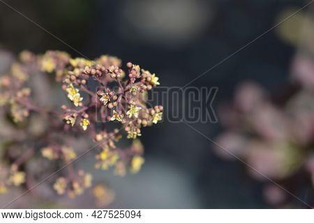 Smoke Tree Royal Purple Flowers - Latin Name - Cotinus Coggygria Royal Purple