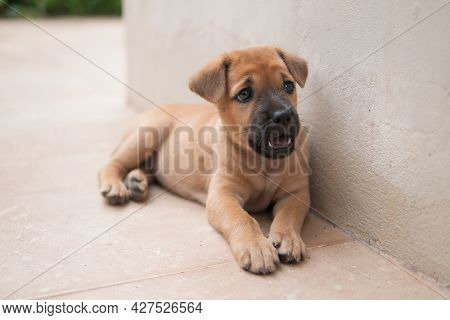 Sleepy Brown Brown Puppy Dog Is Lying On The Floor As Holiday Vacation And Lazy Concept With Copy Sp