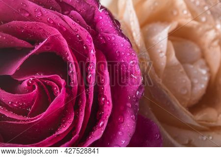 Roses Macro With Drops Of Water. Beautiful Roses Close-up Can Use As Background. Birthday, March 8,