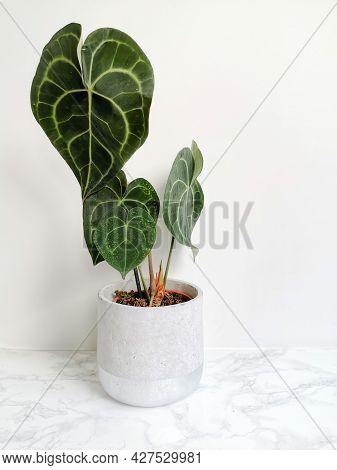 Anthurium Clarinervium Or White - Veined Anthurium In A Planter Against A White Background