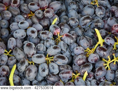 Ripe Grapes Of The New Harvest