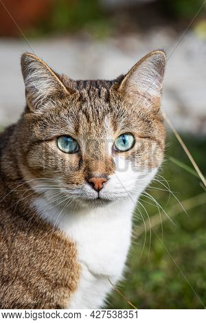 The Beautiful Adult Fat Tabby Cat With Blue Eyes And A White Spot On Their Chest Sits In The Garden