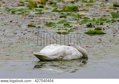 Trumpeter Swan (cygnus Buccinator) With Its Head Down Sleeping On The Water During The Daytime.