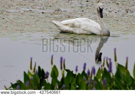 Trumpeter Swan (cygnus Buccinator) And Its Reflection On A Small Lake In Polk County Wisconsin Durin