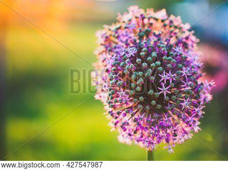 abstract purple giant allium flower