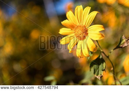 Mexican Sunflower. Landscape Of Yellow Flower Field. Tree Marigold Or Mexican Sunflower Field. Mexic