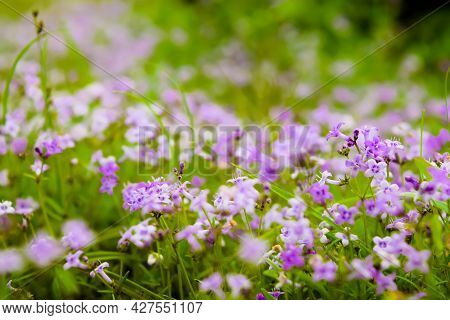 Purple Colored Small Flowers Bloom During The Monsoon Rainy Season In The Western Ghats Of Maharasht