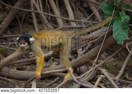 Closeup Portrait Of Golden Squirrel Monkey (saimiri Sciureus) Resting On Branch Pampas Del Yacuma, B