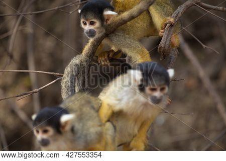 Closeup Portrait Of Group Of Golden Squirrel Monkey (saimiri Sciureus) Playing On Branch Pampas Del