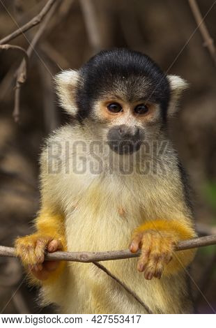 Closeup Portrait Of Cute Baby Golden Squirrel Monkey (saimiri Sciureus) Staring At Camera From Close