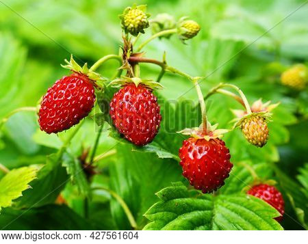 Ripe Red Berries Of Wild Strawberry Plant.  Red Berries Of Wild Strawberry On Green Background Close