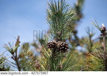 Pine Cones And Needles. Pine Tree Branches With Pinecones. Seed Cones On Coniferous Tree