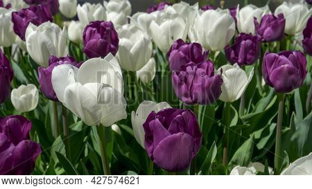 White And Purple Tulip Display At Canberras Floriade Festival