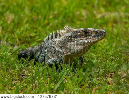A Large And Intimidating Florida Iguana Photographed As It Forages For Greenery In A South Florida P