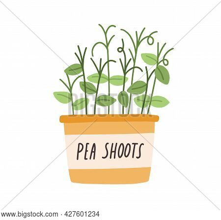 Green Fresh Pea Shoots Growing In Pot. Sprouts Of Microgreens In Planter. Organic Micro Greens In Co