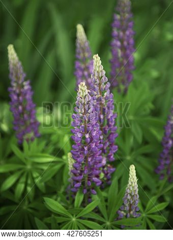 Violet And Purple Lupine Flowers Growing In Green Grass Of A Garden Lawn In Front Of A  Village Hous