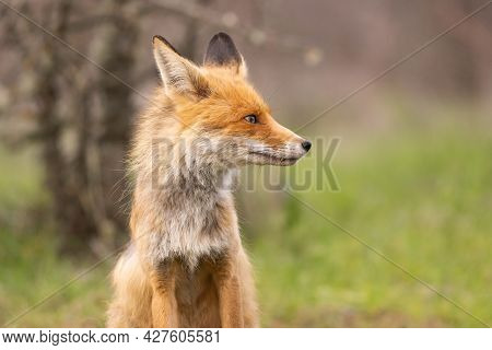 Portrait Of A Red Fox Vulpes Vulpes On A Green Background.