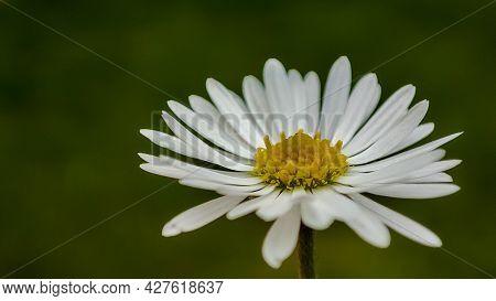 Closeup Macro Of Daisy Flower Blossom. Macro Of A Daisy In The Field
