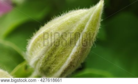 Macro Closeup Clematis Bud In Garden. Closep Flora. Growth Flower, Start Blooming