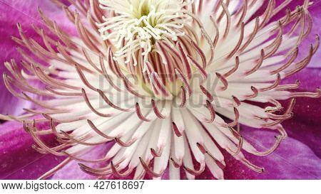 Macro Clematis Flower. Closeup Violet Blooming Clematis.