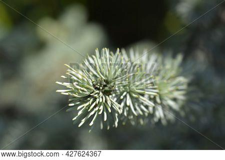Blue Atlas Cedar - Latin Name - Cedrus Atlantica Glauca