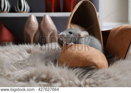 Cute Grey Rat In Female Shoe On Fuzzy Rug Indoors. Space For Text