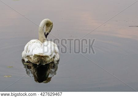 Trumpeter Swan (cygnus Buccinator) Preening With Its Reflection On A Small Lake In Polk County Wisco