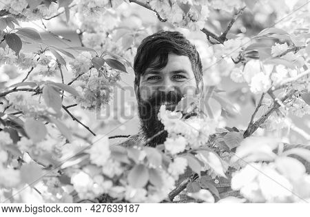 Hiding In Bloom. Handsome Bearded Man Outdoors. Happy Easter. Brutal Hipster In Cherry Bloom. Man In