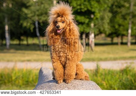 A Beautiful Young Groomed Thoroughbred Red Poodle Sits On Big Boulder In A Sunny City Park