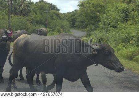 Buffalos On The Roadside Grazing On The Grass Grow After Monsoon