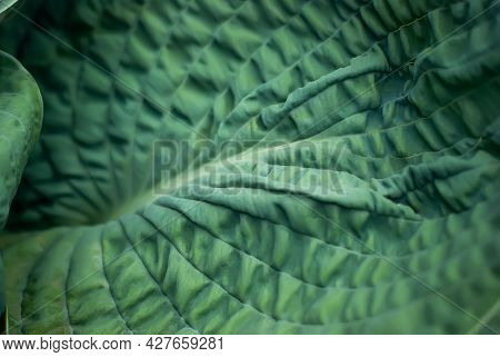 Hosta Is A Blue Angel. Close-up Of The Blue Leaf Of The Host Plant. Hosts With Blue Leaves In Landsc