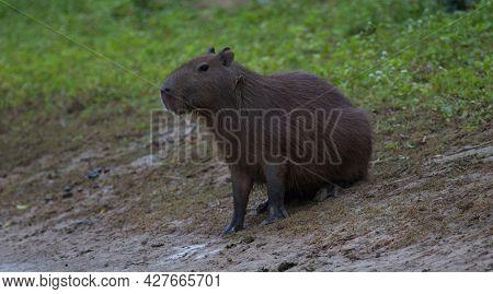 Closeup Side On Portrait Of Capybara (hydrochoerus Hydrochaeris) Sitting On Riverbank, Pampas Del Ya