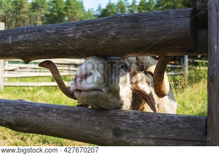 A Ram Looks Over The Fence Of The Pen. A Ram Is Fed Through A Fence, A Horned Ram.