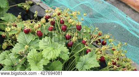 Strawberries In Strawberry Bed In The Garden, Ripe Strawberries On Bushes In Strawberry Bed