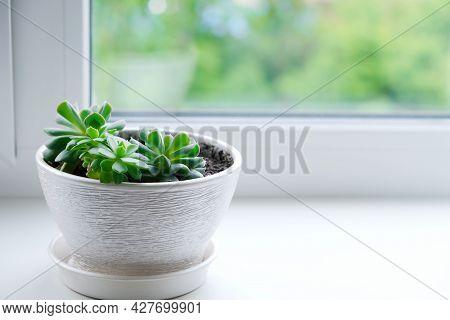 Home Plants. Succulent In A White Flower Pot . Echeveria