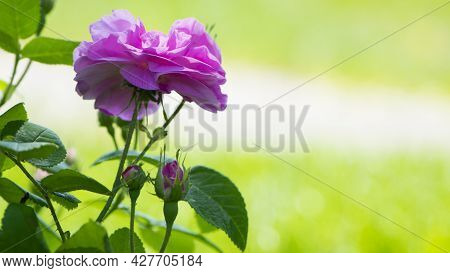 Pink Rose Flower Background. Red Roses On A Bush In The Garden, Close-up. Delicate Pink Rose Flower