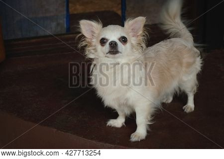 Portrait Of Funny Lap Dog. Longhaired Purebred Chihuahua Dog. Cute Small Doggy.