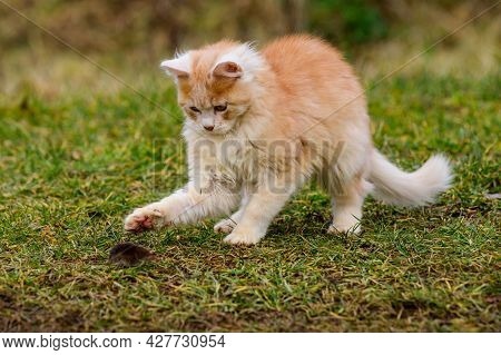 A Red Cat Plays With Its Prey, Cat Food, Mole And Cat.