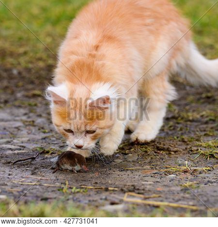 A Hungry Red Predator Is Playing With A Mole, A Cat Has Caught A Mole.