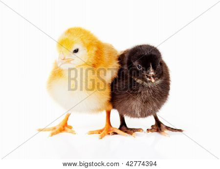 Black And Yellow Baby Chickens