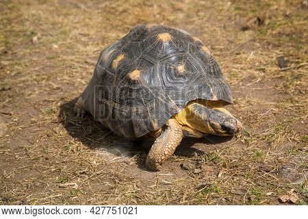 A Radiant Turtle (lat. Astrochelys Radiata) With A Beautiful Shell Pattern Standing On Green Grass O