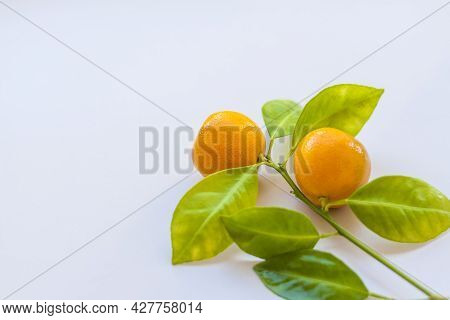 A Branch Of Natural Small Tangerines On A Light Background. Tangerines On A Branch With Leaves On Th
